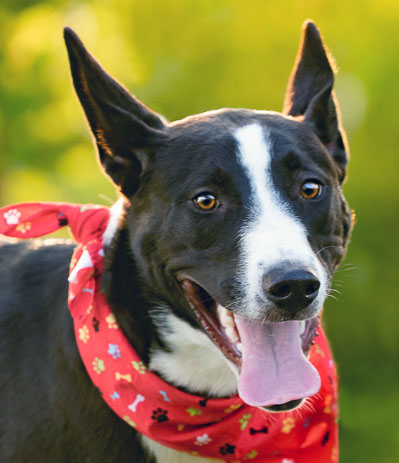 Border Collie Rescue Texas, Inc - Available Dogs For Adoption