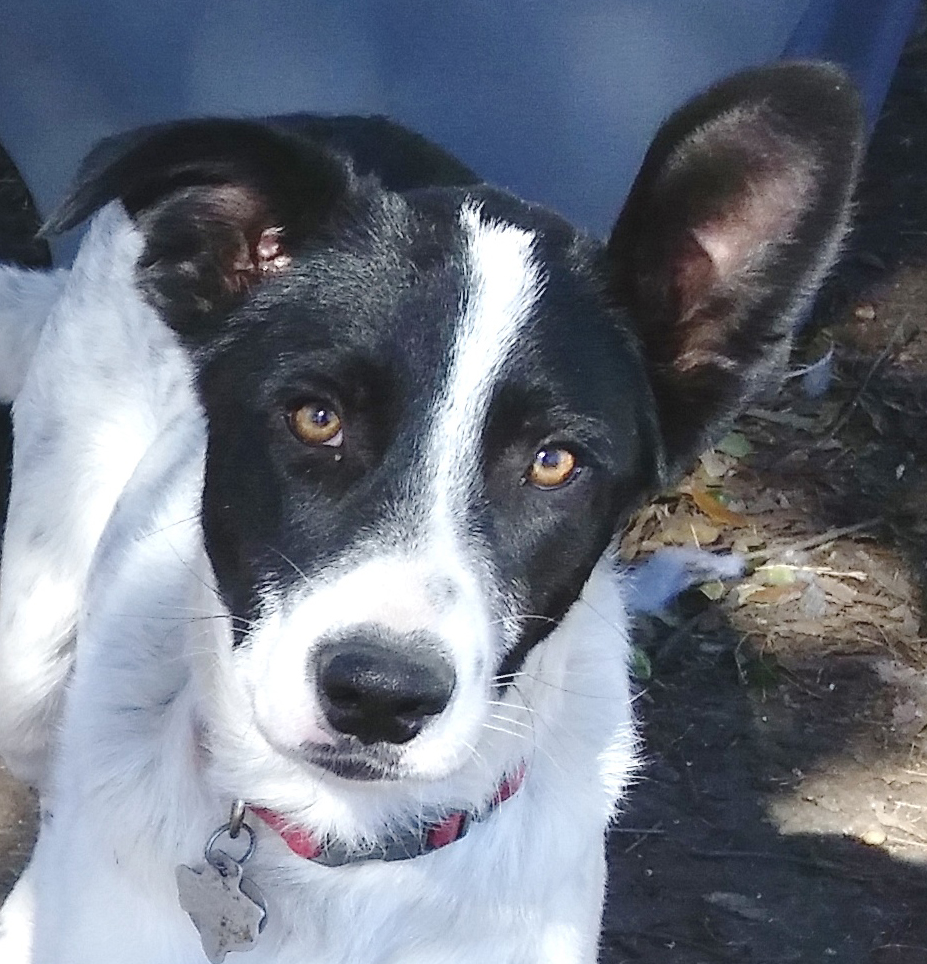 Border Collie Rescue Texas, Inc - Available Dogs For ...